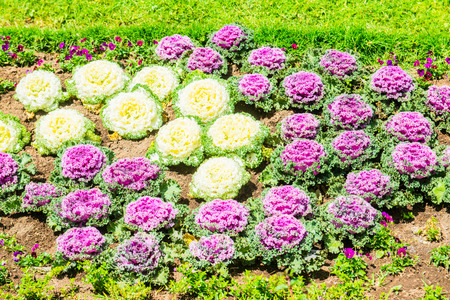 Ornamental Cabbage in The Garden, Thailand.