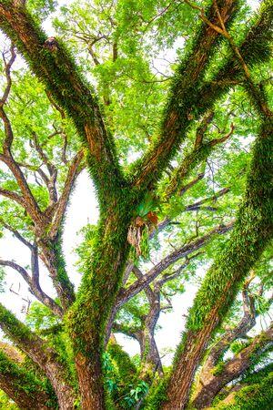 Foto de Beautiful rain tree in Chiang Kham district, Phayao province - Imagen libre de derechos