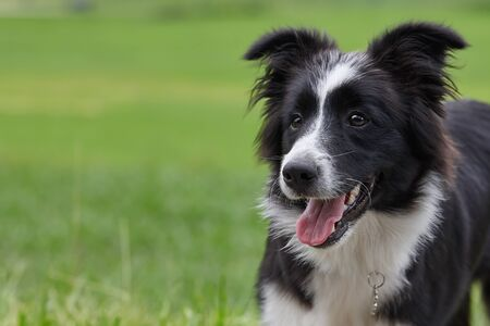 Foto de Young black and white border collie dog portrait on green grass background - Imagen libre de derechos