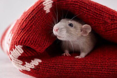 Photo pour Rat hiding in Christmas winter sweater. New Year 2020 symbol. - image libre de droit