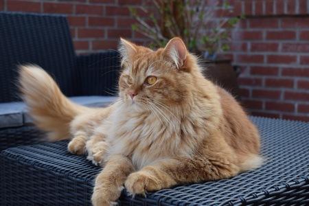 Cat British Longhair elongated