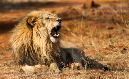 African male lion lying on ground and roar with open mouth and teeth to be seen