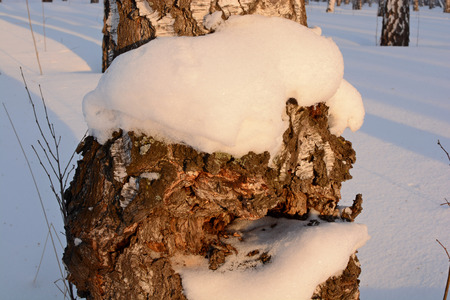 birch at sunset in winter, part of tree