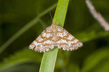 Common Heath (Ematurga atomaria) on the leaf of grasses
