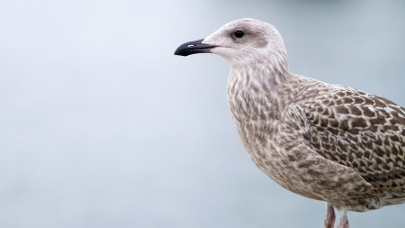 Young sea gull portrait