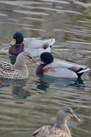 Mallards in the water