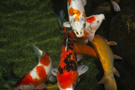 white-orange koi carp