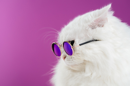 Photo for Close portrait of white furry cat in fashion sunglasses. Studio photo. Luxurious domestic kitty in glasses poses on pink background wall. Copy space. - Royalty Free Image