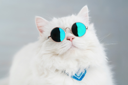 Photo pour Portrait of highland straight fluffy cat with long hair and round sunglasses. Fashion, style, cool animal concept. Studio photo. White pussycat on gray background - image libre de droit
