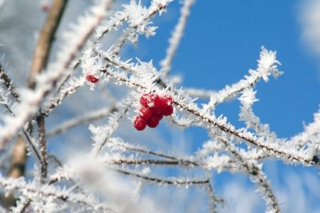 A couple of red berries on a frosted branch in winter.