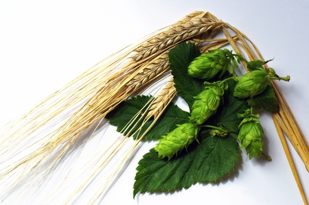 Ripe Barley and Hops, the two main ingredients of beer