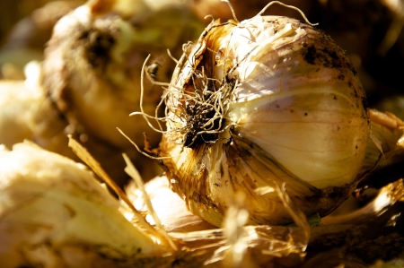Fresh Onion, just harvested, now drying in the sun