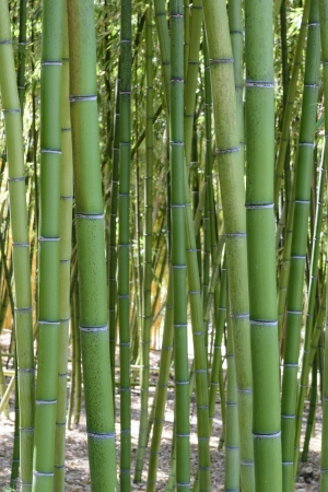 Green bamboo trees in a Japa