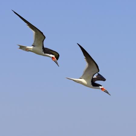 Black Skimmer in flight in Bolsa Chica wet land, California