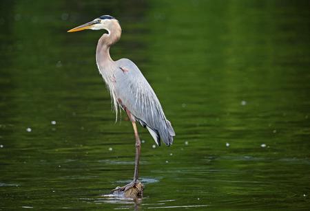 Foto de Great blue heron - Imagen libre de derechos