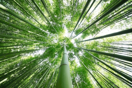 Looking Up Through The Bamboo Trees