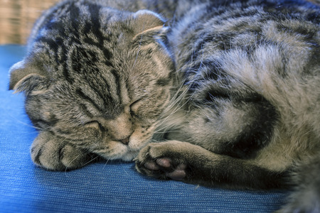 Funny Scottish fold cat sleeping sweetly in the winter at home like a man, his head resting on the foot