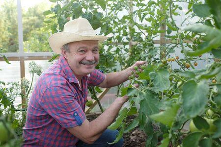 Foto für Hispanic senior farmer checking his tomatoes in a hothouse - Lizenzfreies Bild