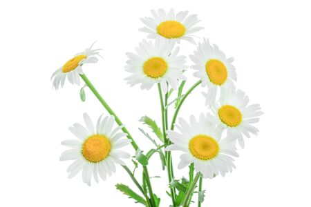 Photo for one chamomile or daisies with leaves isolated on white background - Royalty Free Image