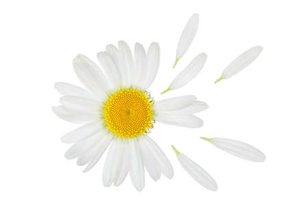 Photo for chamomile or daisies isolated on white background with clipping path. Set or collection. - Royalty Free Image
