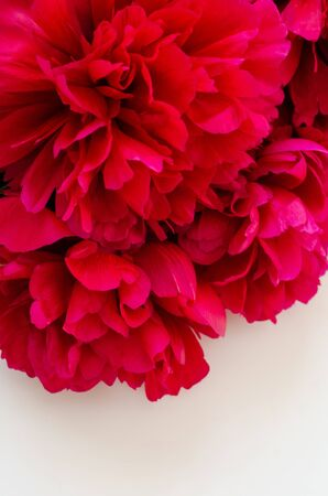 Photo for beautiful red peonies flowers on a white background - Royalty Free Image