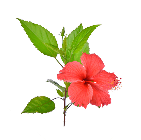 Foto de hibiscus isolated on white background - Imagen libre de derechos