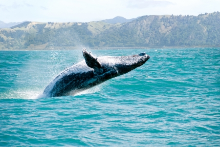 Photo pour Massive humpback whale playing in water captured from Whale whatching boat - image libre de droit