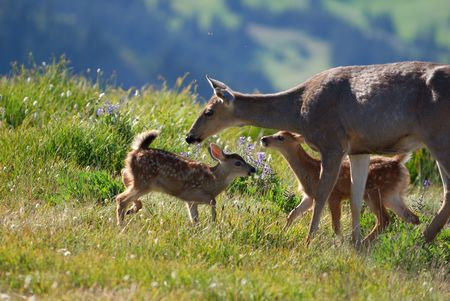 mother deer and fawns