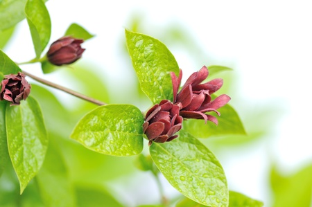 Calycanthus floridus, Common Name: Carolina allspice