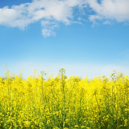 Photo pour Picture of yellow field rapeseed in bloom - image libre de droit