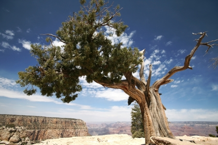 tree in Grand Canyon Arizona USA