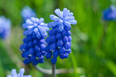 Blue flower Mus cari
