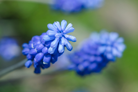 Blue flower violet Mus cari