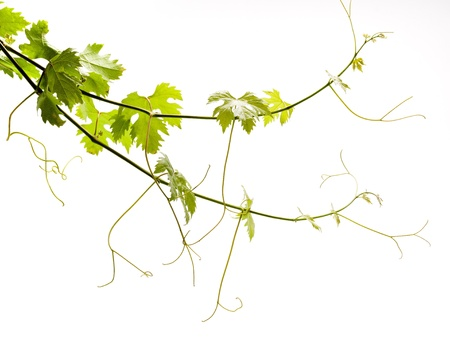 Grape young green leaves on a white background