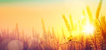 Photo for Countryside landscape; sunrise over summer golden wheat field    - Royalty Free Image