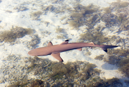 Photo pour Reef shark , the top view through crystal clear water - image libre de droit