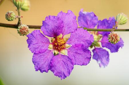 Queen flower (Lagerstroemia speciosa Pers)