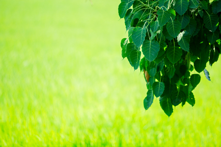 Photo pour Bodhi green leaf tree isolated on green background. Bodhi leaf with blurry green paddy field - image libre de droit