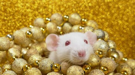 Photo for a white rat on a gold background peeps out of a nest of golden balls. close-up. symbol of 2020. copy space. symbol of wealth and abundance. - Royalty Free Image