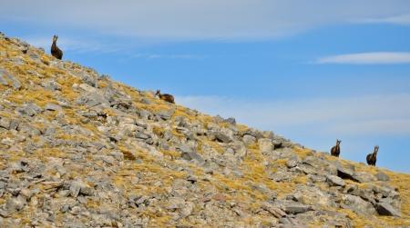 Four chamois in Niu d Àliga  2 531 m