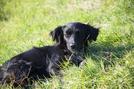 Photo for Black dog lying on green grass on a summer day - Royalty Free Image