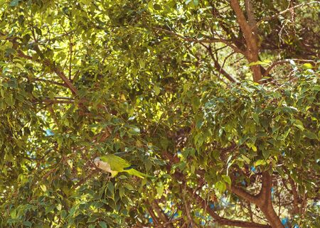 Green parrot in the green leaves of a tree, Barcelona city