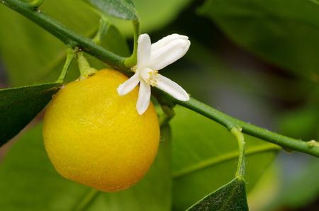 The flower and fruit Citrofortunella microcarpa closeup