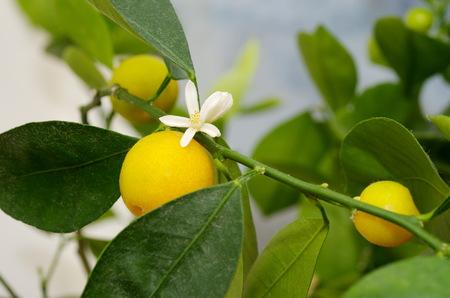 Simultaneous flowering and fruiting Citrofortunella microcarpa