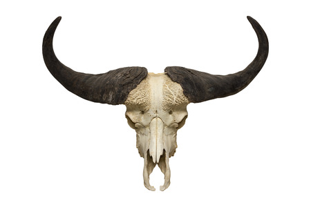 buffalo skull on the white background