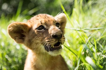 Portrait of lion cub in lion park Taigan, Crimea, Russia
