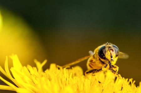 bee collecting pollen on a dandelion macro