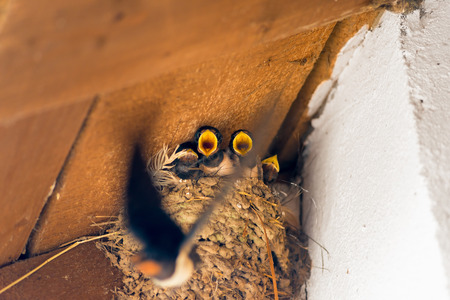 chicks in the nest and flies the mother with food