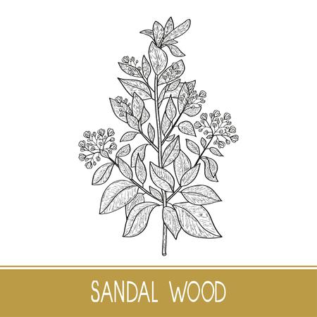 Illustration pour Sandal wood. Plant. A stem, leaf, flower. Monochrome. Sketch. - image libre de droit