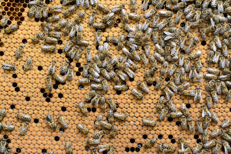 Bees Broods. Hardworking Bees on Honeycomb in Apiary.